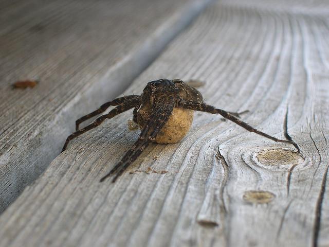 Pregnant dock spider