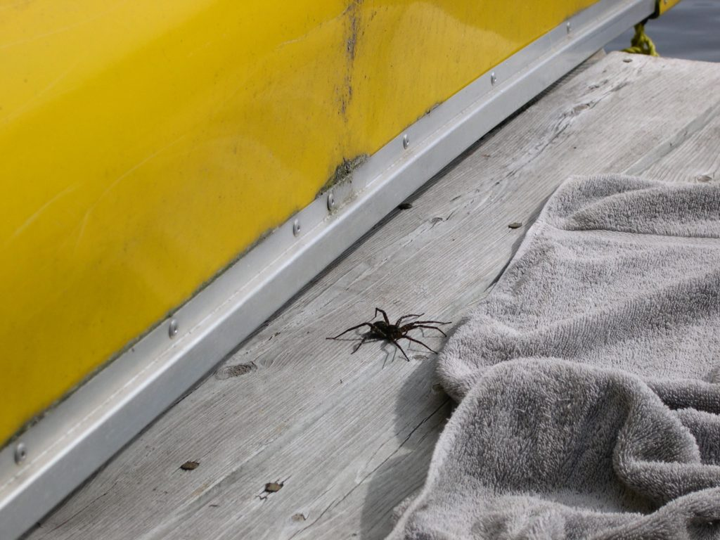Dock spider on a dock near a towel
