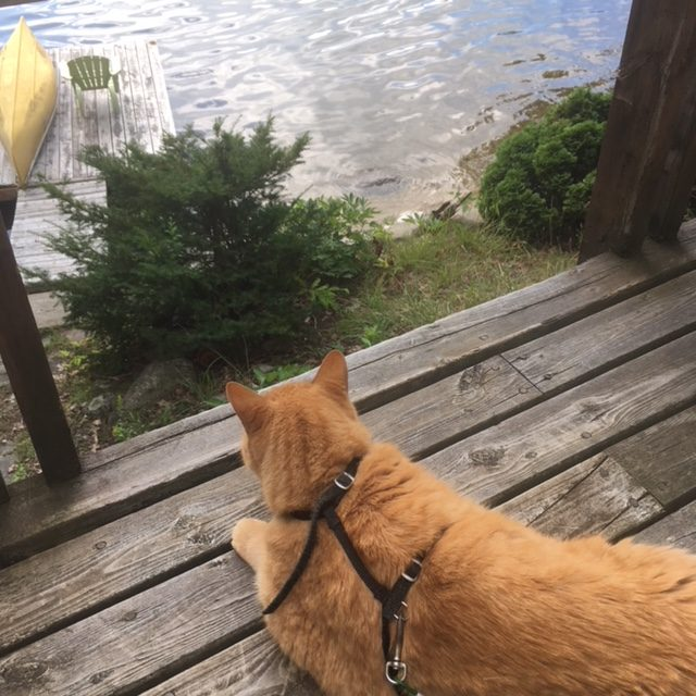 cat on a deck looking at lake