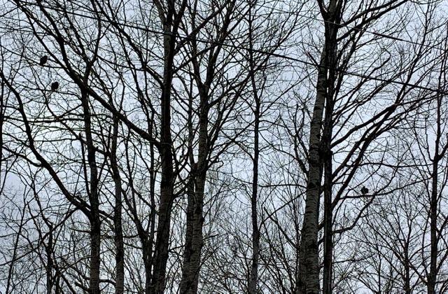 Three turkeys in trees
