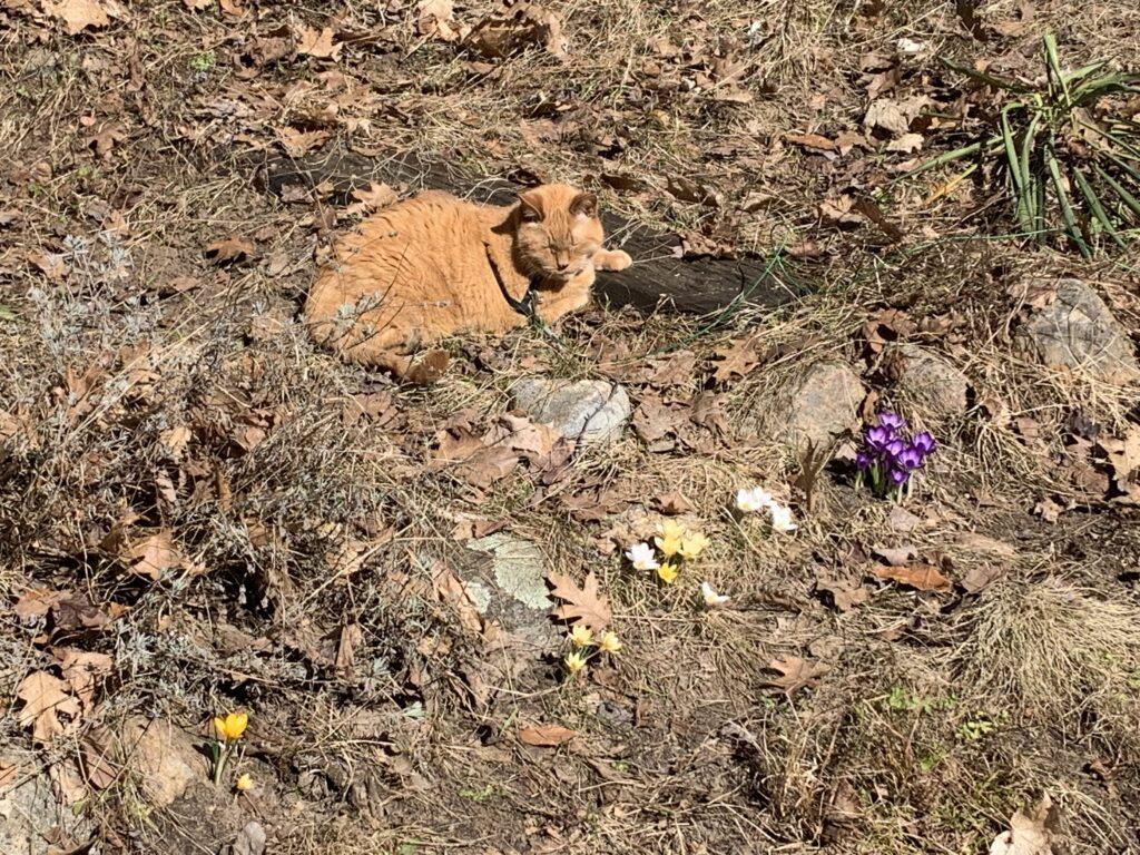 ginger cat in a crocus garden