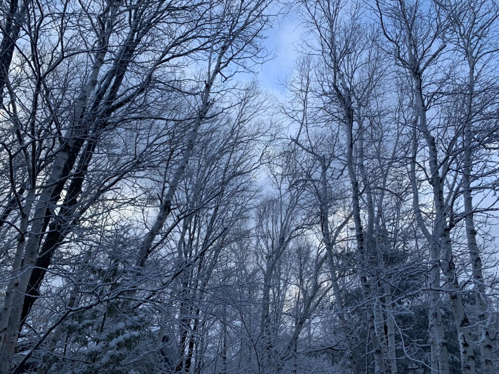 snow in trees